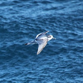 Antarctic Prion flying over the South Atlantic (5663003271).jpg