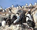Antarctic Shags at Jougla Point, Antarctica.jpg
