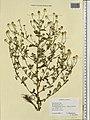 Anthemis cotula herbarium (03).jpg