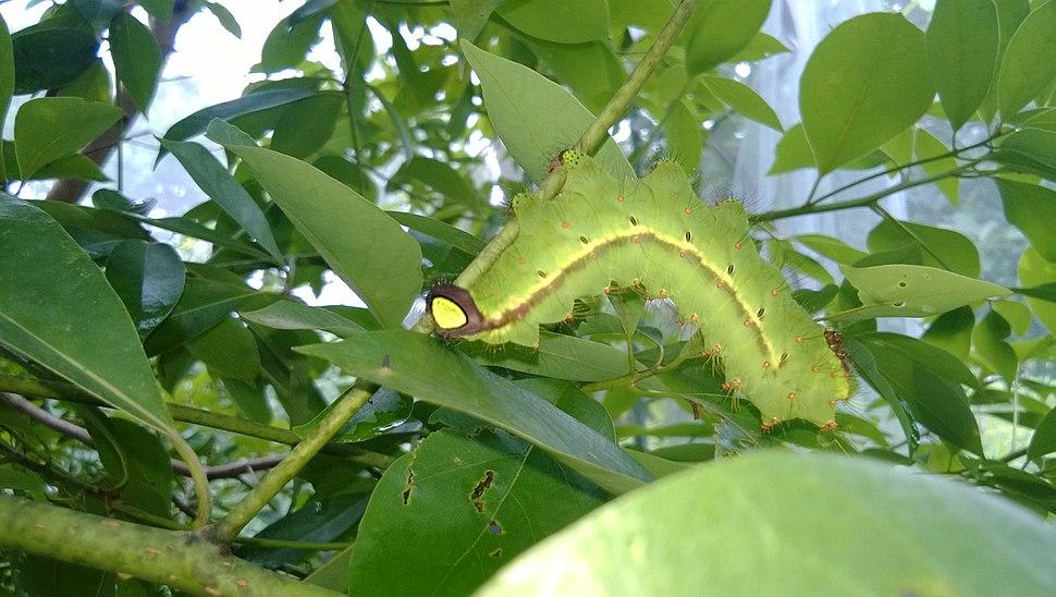 Antheraea assama from Assam