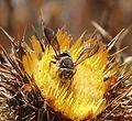 Anthidium species - Flickr - gailhampshire (3).jpg