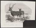 Antilope strepsiceros - 1872 - Print - Iconographia Zoologica - Special Collections University of Amsterdam - UBA01 IZ21400151.tif