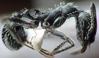 Aphaenogaster spinosa profilo.jpg