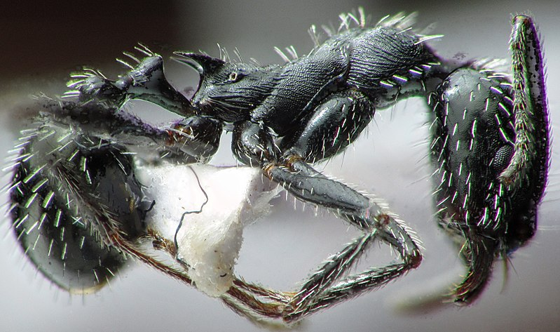 File:Aphaenogaster spinosa profilo.jpg