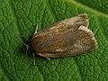 Aphelia viburnana - Bilberry tortrix - Листовёртка калиновая (43089774334).jpg