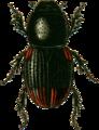 Aphodius haemorrhoidalis Jacobson.png