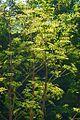 Apiaceae - Peucedanum verticillare-1.JPG