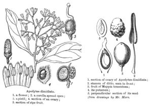 Apodytes dimidiata - Anatomical drawing of flower and fruit