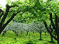 Apple orchard Moscow State University 02.JPG