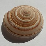 Architectonica perspectiva.shell002.jpg