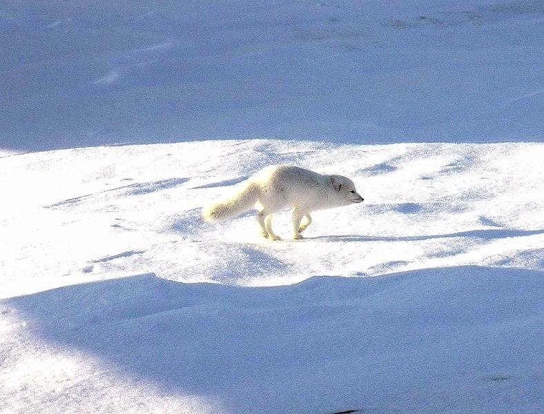 Arctic fox running in the snow, Quttinirpaaq National Park