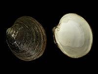 Arctica islandica valves