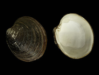 Periostracum - Fresher valves of Arctica islandica with periostracum intact. Note that the periostracum is partially worn off on the umbo, this is because the umbo is older than the rest of the shell and also projects more: it has been exposed to more abrasion during the life of the clam