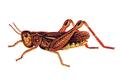 Arcyptera microptera.png