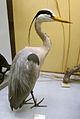 Ardea cinera (taxidermied) at Göteborgs Naturhistoriska Museum 7978.jpg
