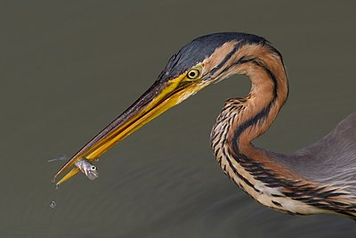 Ardea purpurea, Tarn, France, 2012.jpg