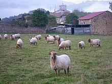 在农场的羊