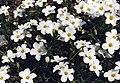 Arenaria montana 1b.jpg