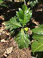 Artocarpus altilis Breadfruit Beqa Fiji 1.jpg