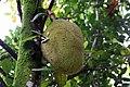 Artocarpus heterophyllus 20zz.jpg