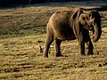 Asian Elephant - Spotlight effect (31721317023).jpg