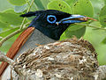 Asian Paradise Flycatcher (Terpsiphone paradisi)- male with a feed at nest W3 IMG 9293.jpg