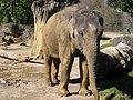 Asian elephant 2013.jpg