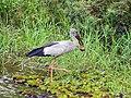 Asian open billed stork with an apple snail (8735191746).jpg