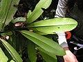 Aspidosperma spruceanum, gararoba - Flickr - Tarciso Leão (8).jpg