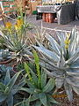 Assorted Aloes (4283543072).jpg