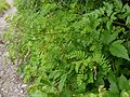 Astragalus chlorostachys (7839376646).jpg