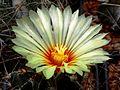 Astrophytum flower 311.jpg