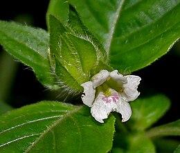 Asystasia mysorensis W2 IMG 2624