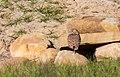 Athene cunicularia (51071374173).jpg