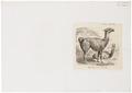 Auchenia lama - 1700-1880 - Print - Iconographia Zoologica - Special Collections University of Amsterdam - UBA01 IZ21600100.tif