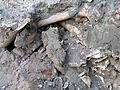 Aushub per Bagger 1m Alter St. Nikolai-Friedhof Nikolaikapelle Hannover, 10 Gebeine 1.JPG