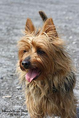 Australian Terrier blue and tan