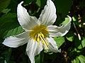 Avalanche lily close-up (9bdbcb551c1f4a0b98fb75e2e56908c0).JPG
