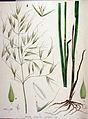 Avena hybrida — Flora Batava — Volume v19.jpg