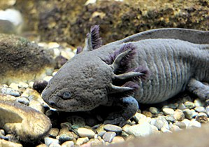 Axolotl wikipedia - Was kostet ein fliesenleger schwarz ...