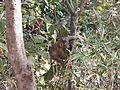 Baby Monkey on a branch.jpg