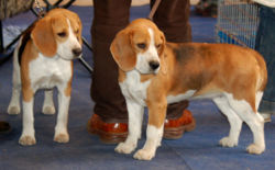 meaning of beagle