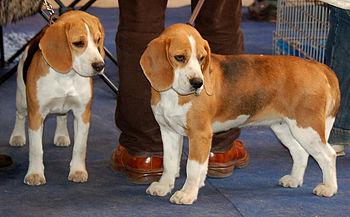 Beagles de porte pequeno