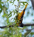 Baltimore Oriole bathing and other monkeyshines (33733658194).jpg