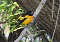 Baltimore Oriole bathing and other monkeyshines (34576532425).jpg