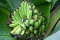 Bananas (11983481393).jpg