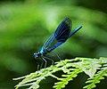 Banded Demoiselle. male. Calopteryx splendens (25812594718).jpg