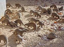 Banded mongoose (Mungos mungo) group.JPG