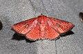 Banisia cyclothyris or strigigrapha (Thyrididae- Striglininae) (6133252877).jpg