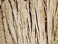 Bark of Prosopis juliflora.JPG